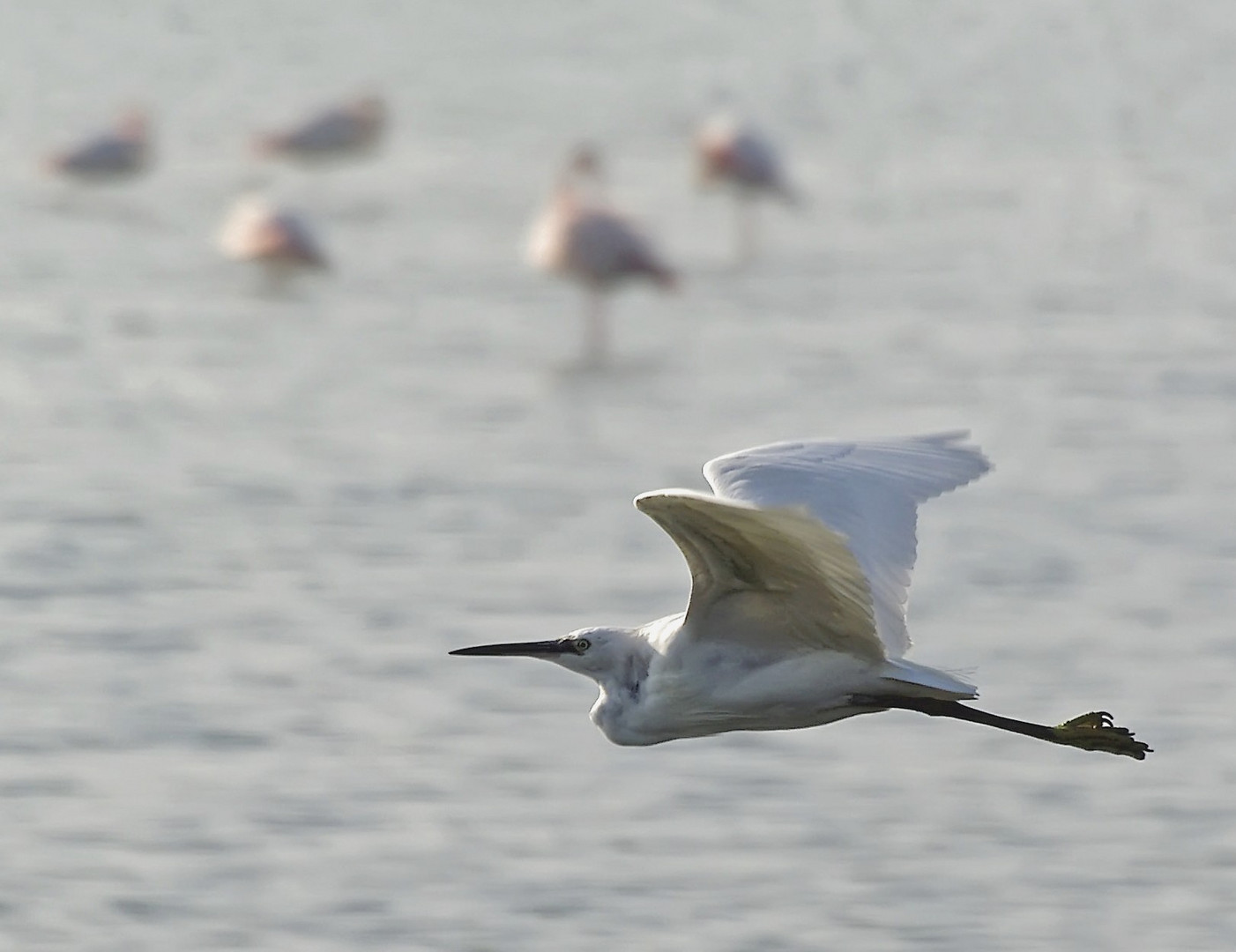 vol au dessus d'un nid de flamants