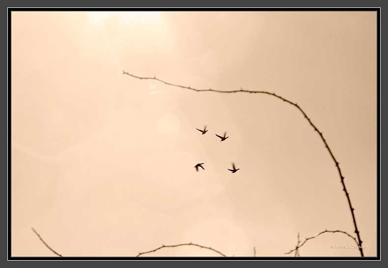 Vol de canards... un  soir