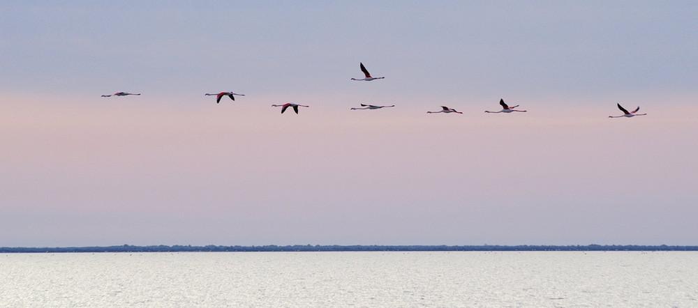 Vol de flamants au couchant en Camargue