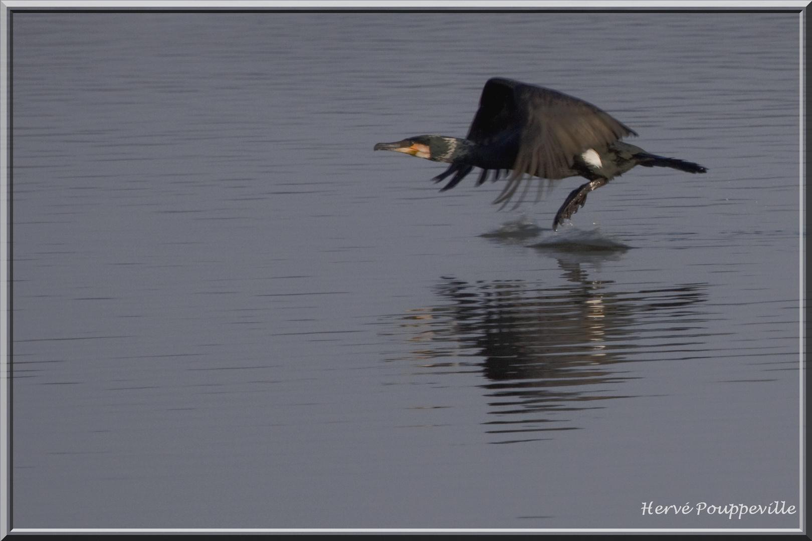 Vol de Grand cormoran 2