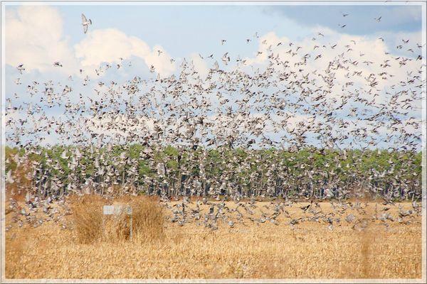 """Vol de pigeons ramiers (palombes ) """""""