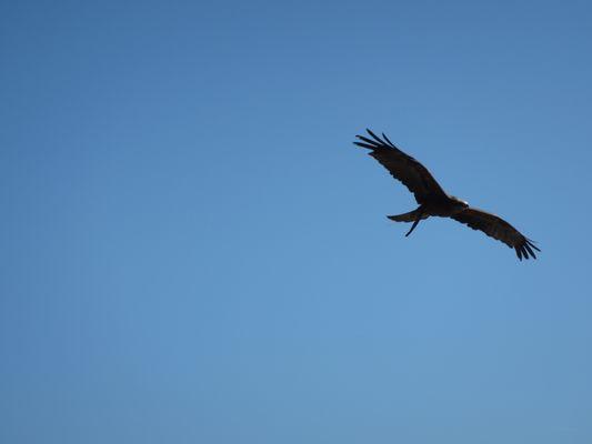 Vol de rapace (1)