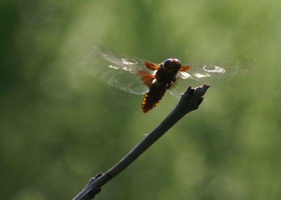 Vol libellule déprimée