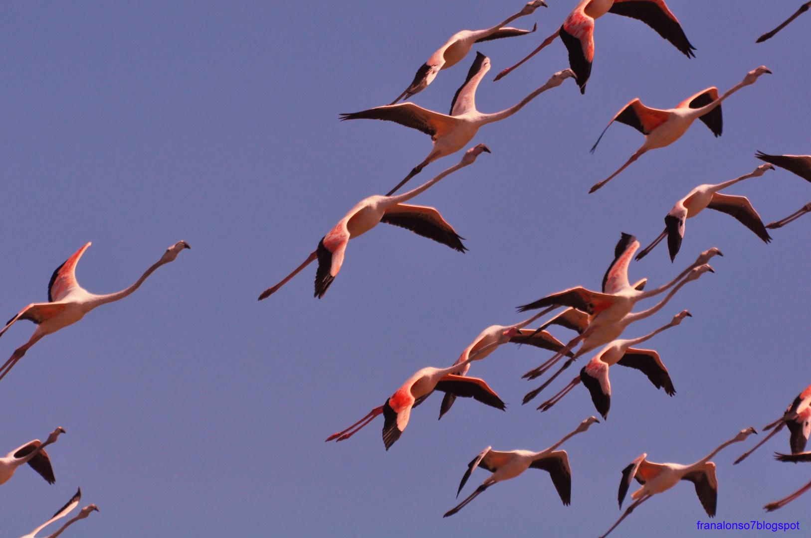 Volando los Flamenco en la Marisma dr Odiel