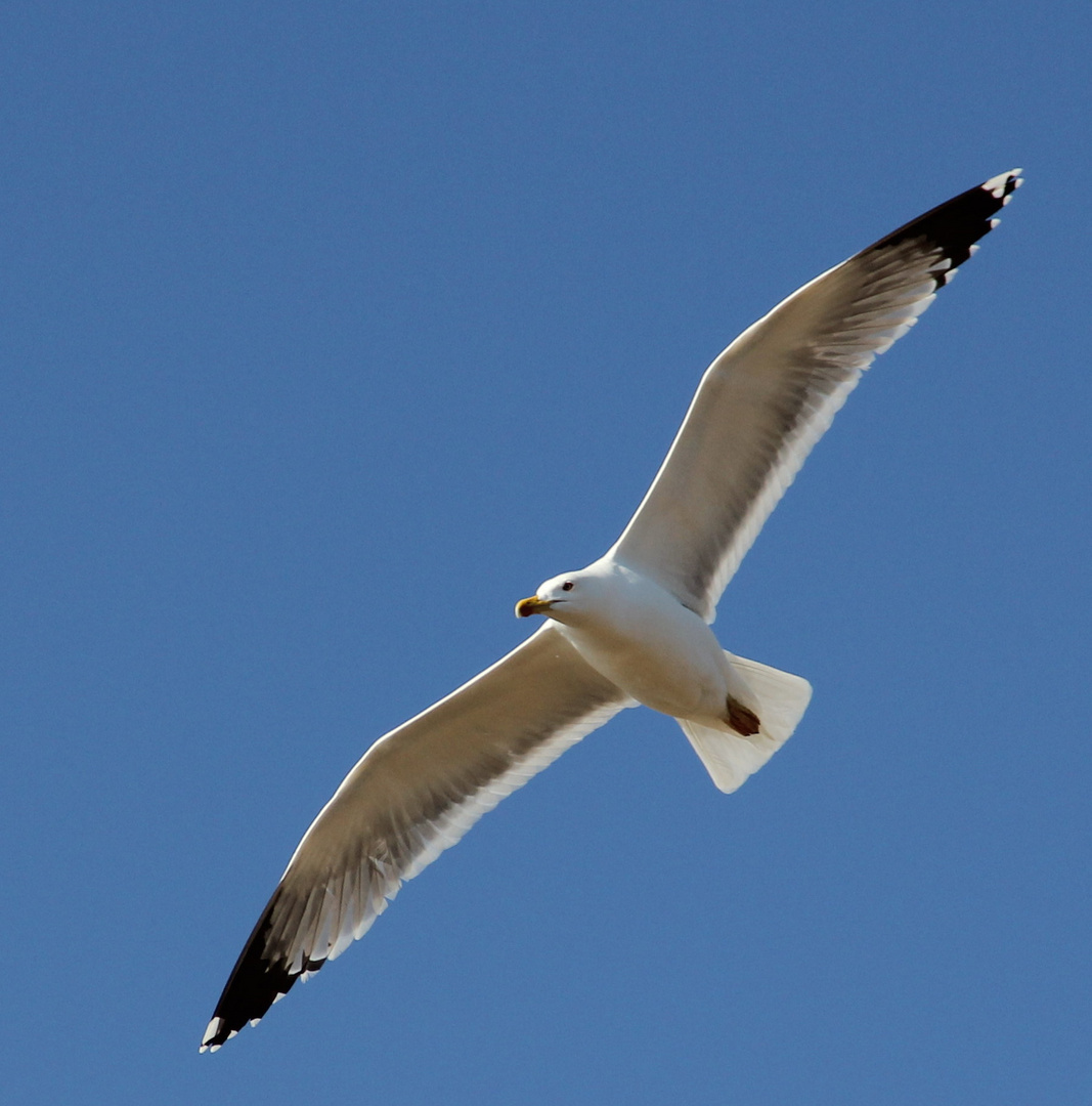 Volando  majestuosamente.
