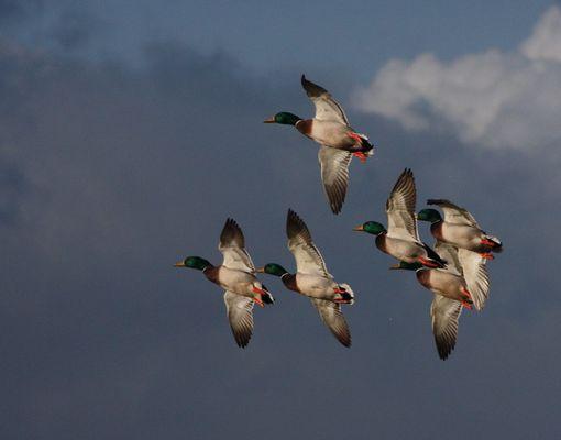 volée de canards colverts