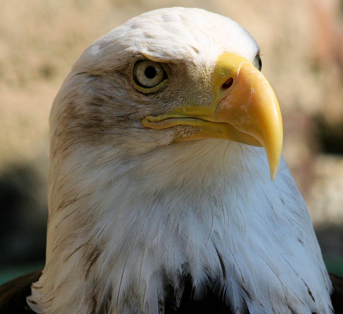 Volerie des Aigles - Kintzheim / Weißkopfseeadler (Wappentier der USA)