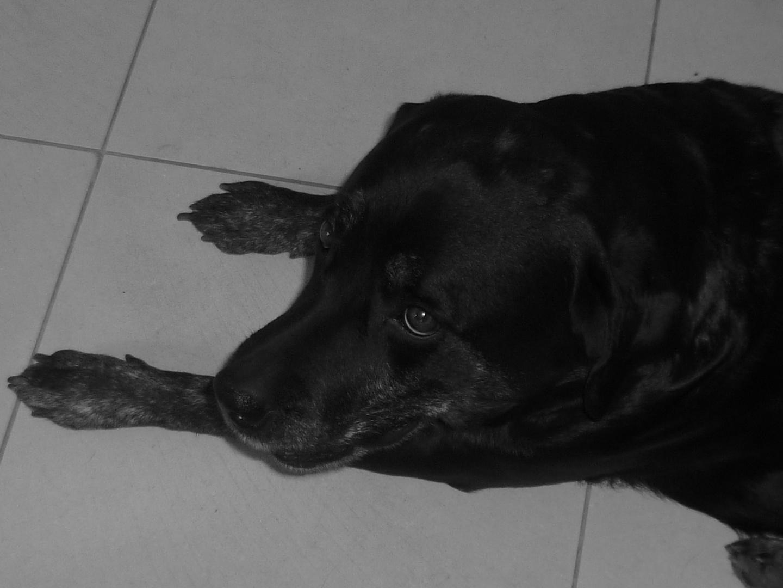 Volka: chien noir