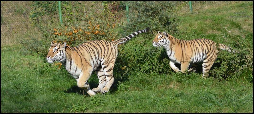 Volle Tigerpower !!!