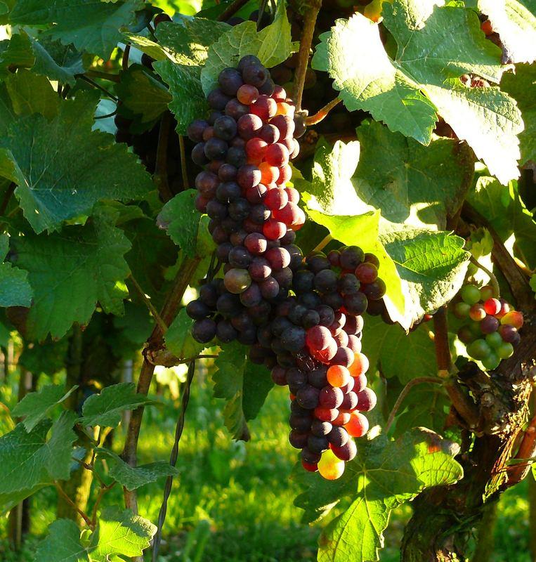 Voller Wein