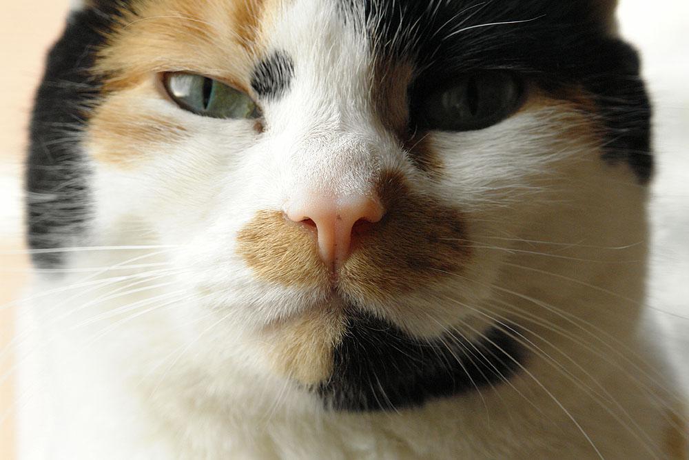 Vollformat-Katze