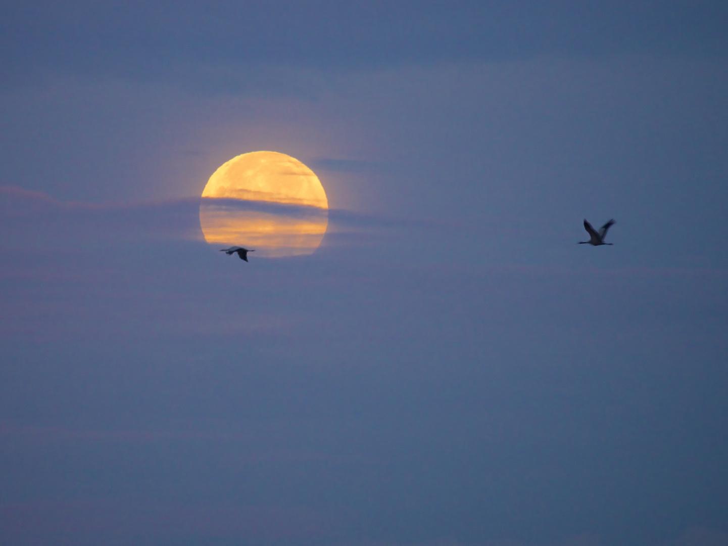 Vollmond in der Morgendämmerung (Kraniche)