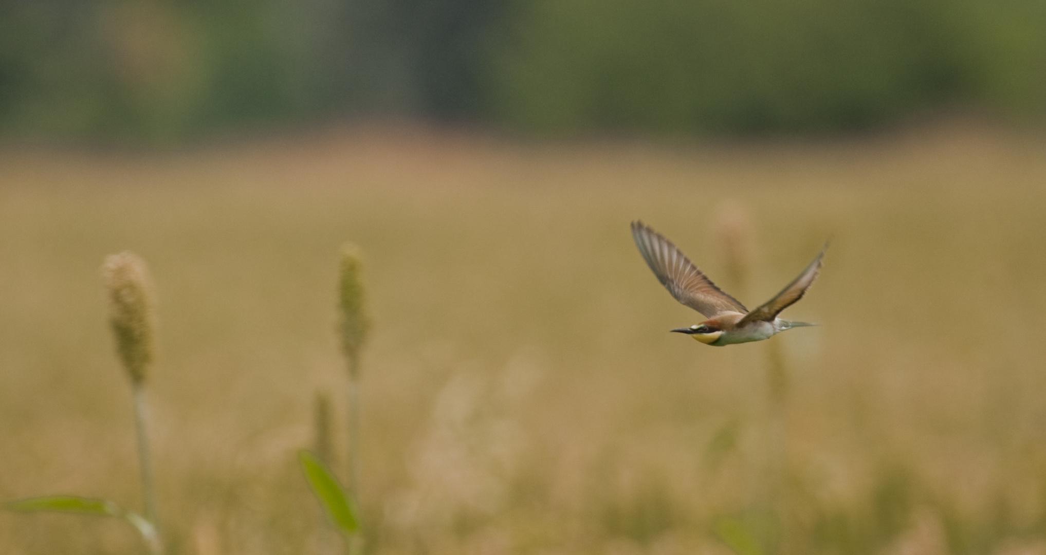 volo di gruccione sopra al campo di miglio