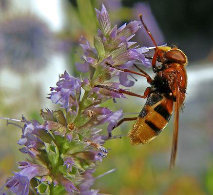 Volucella zonaria - Hornet Mimic Hoverfly (2)