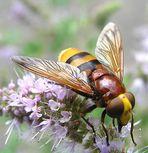 Volucella zonaria - Schwebfliege