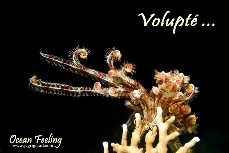 voluptuous beauty of sea lily - Crinoid