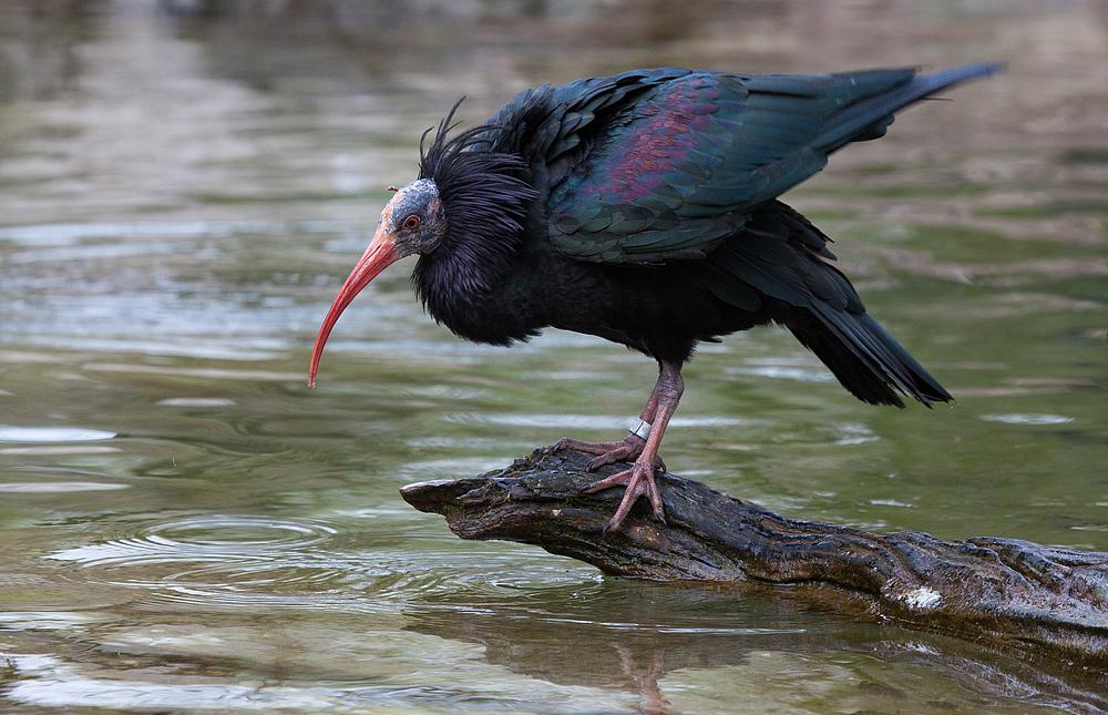 vom ibis...
