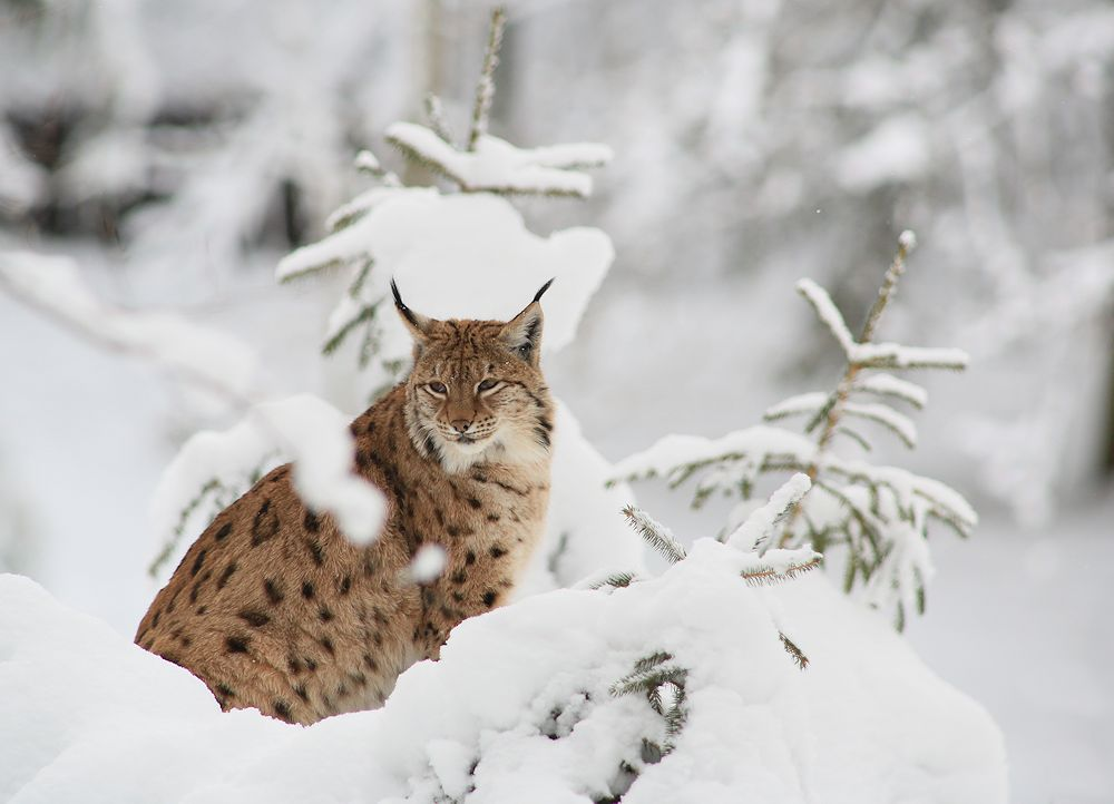 vom luchs im winter...