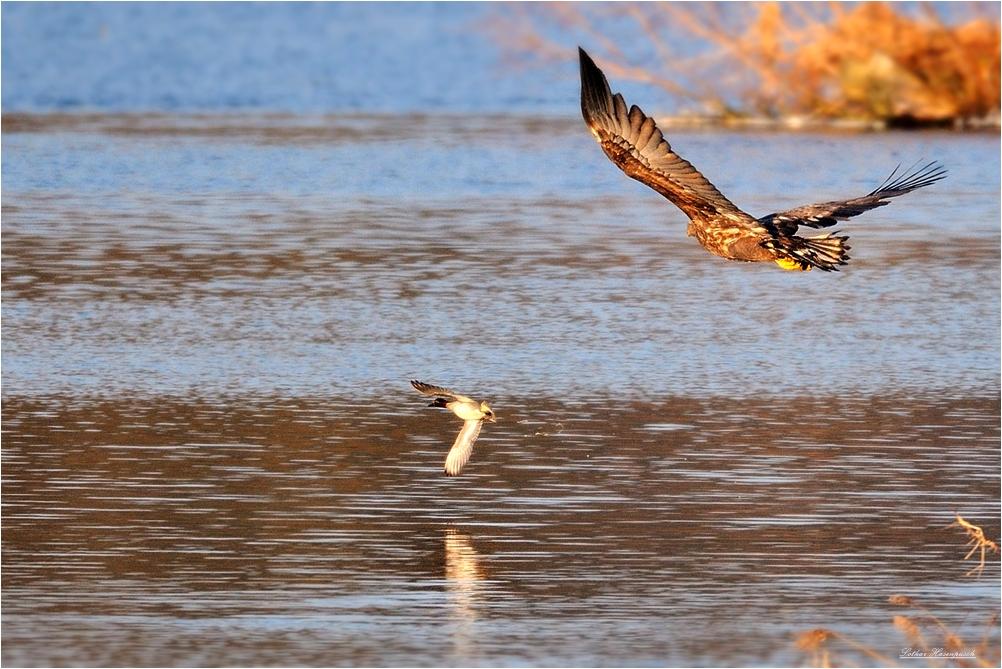 Vom Seeadler gejagt