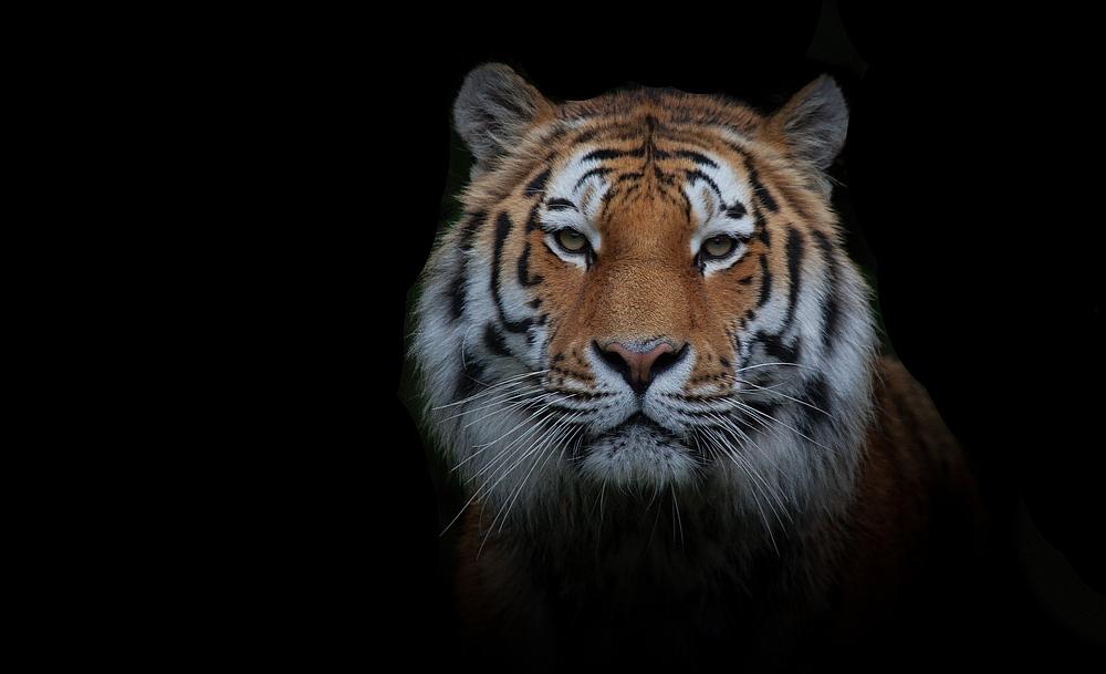 vom tiger