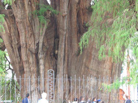 vom Umfang, der größte Baum der Welt