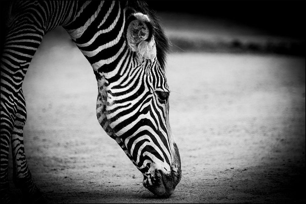 vom zebra...