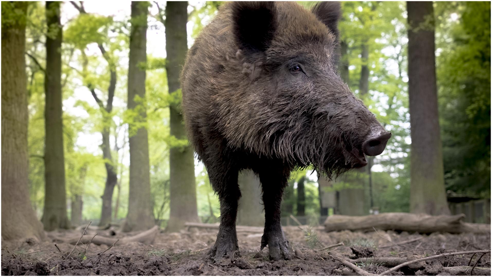 ... vom zweibeinigen Wildschwein....