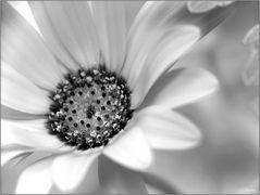 Vompcpauseblümchen