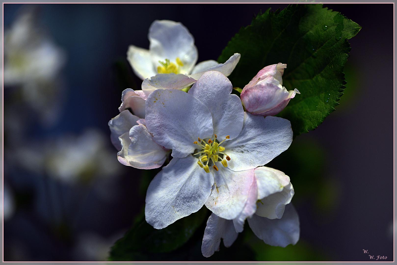 Von Apfelblüten einen Kranz