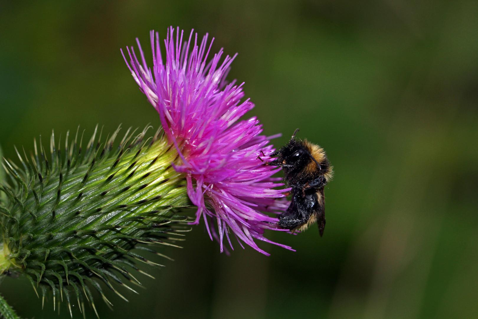 Von Bienen und Blüten