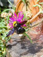 Von Blütenstaub bedeckt - Holzbiene