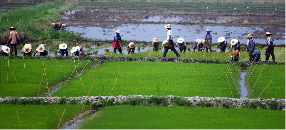 Von der harten Arbeit auf den Reisfeldern