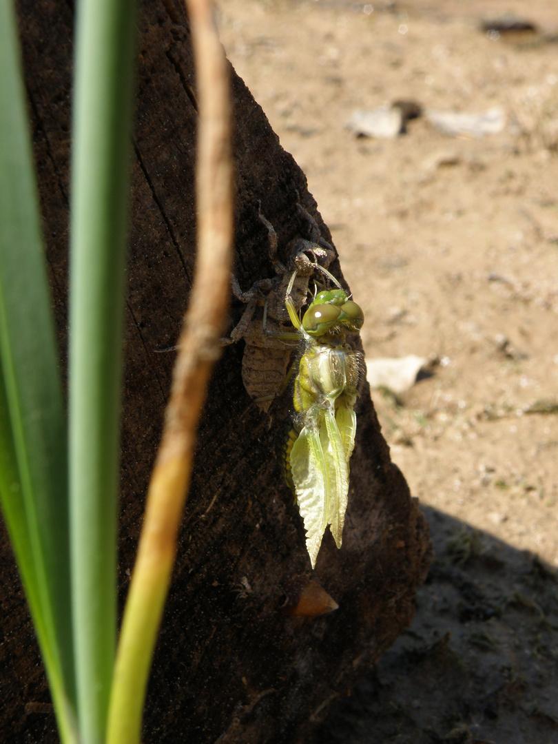von der Larve zur Libelle