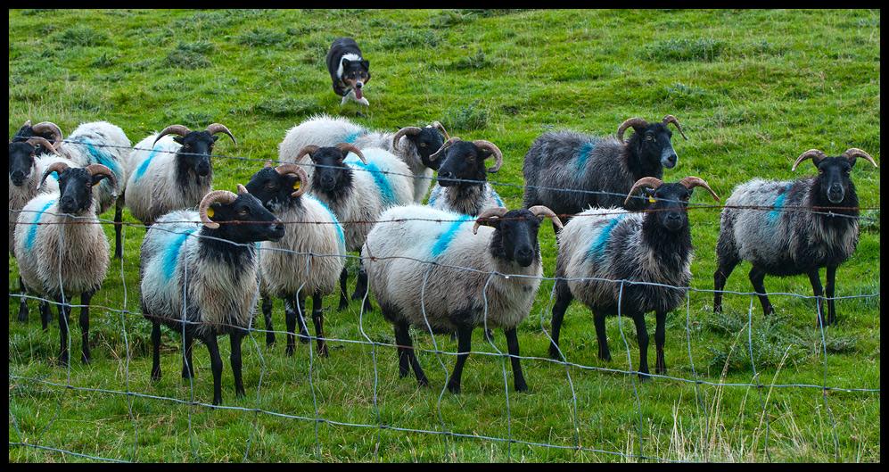 Von der Liebe des Border Collies, Schafe hüten zu dürfen