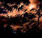 Von der Sonne angestrahlte Wolken, Ahorn im Gegenlicht.