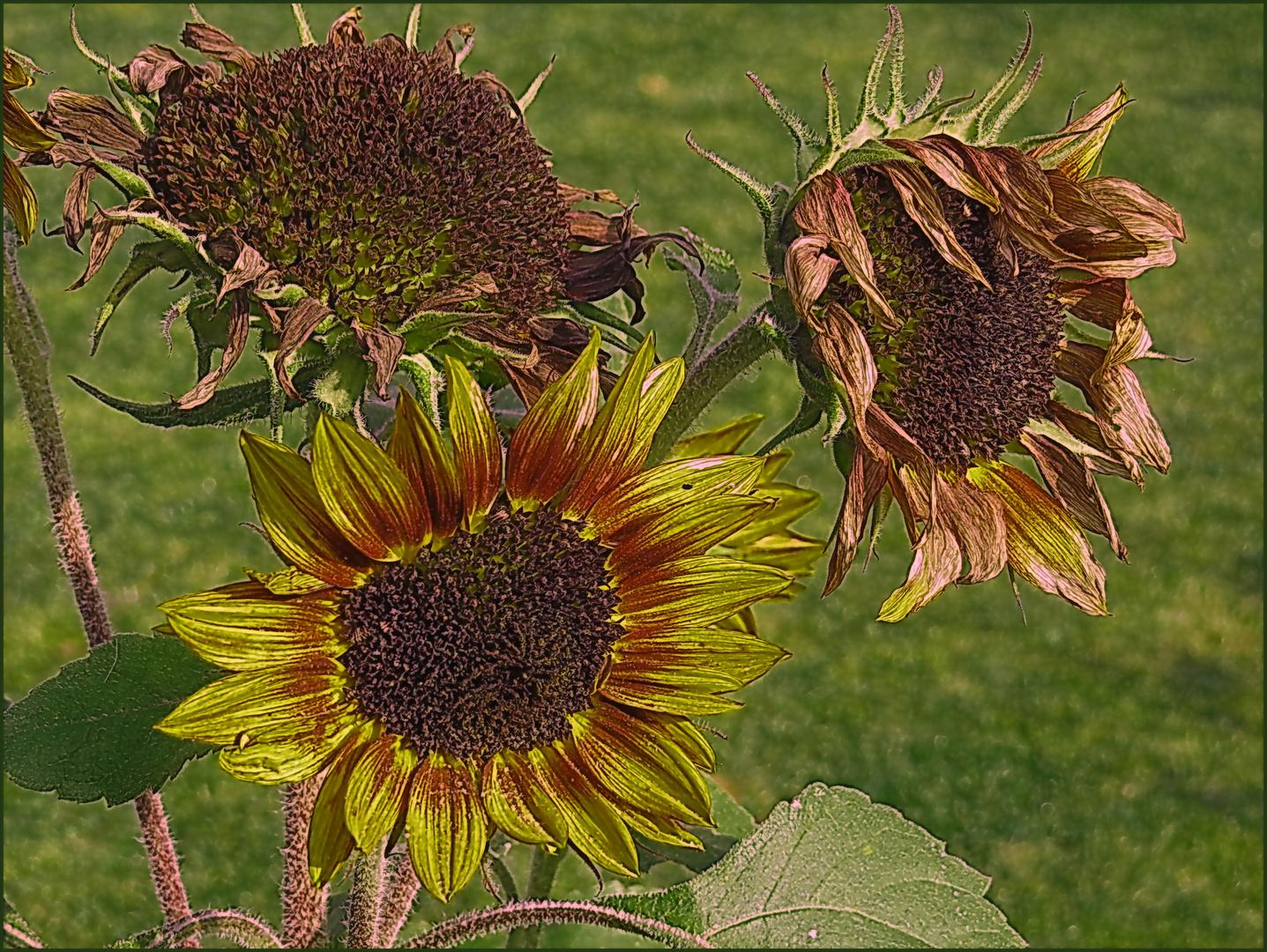 von heute Mittag - die letzten Sonnenblumen am Terrasseneingang