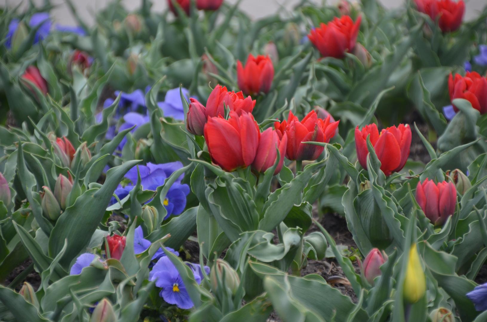 Von Stiefmütterchen und roten Tulpen ;-)