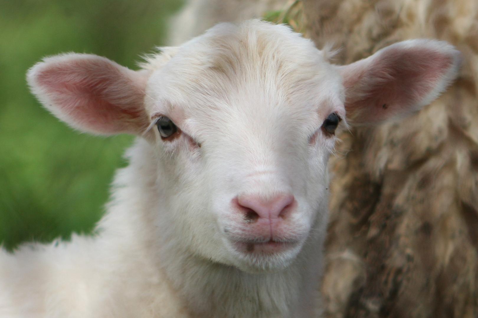 """""""von wegen blödes Schaf..."""""""