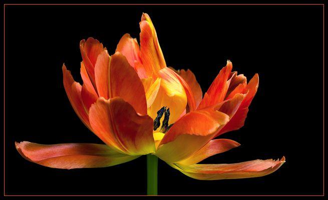Vor allem die gefüllten Tulpen bieten dieses Feuerwerk an Farbe .. Form und Eleganz