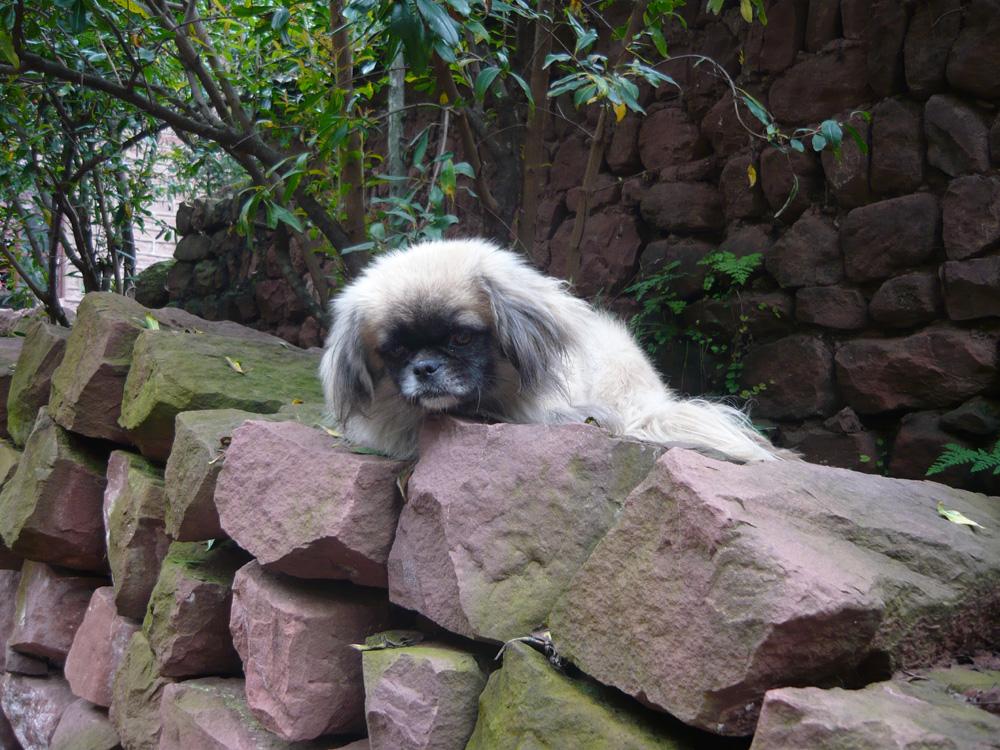 Vor chinesisischen Hunden braucht man sich nicht zu fuerchten