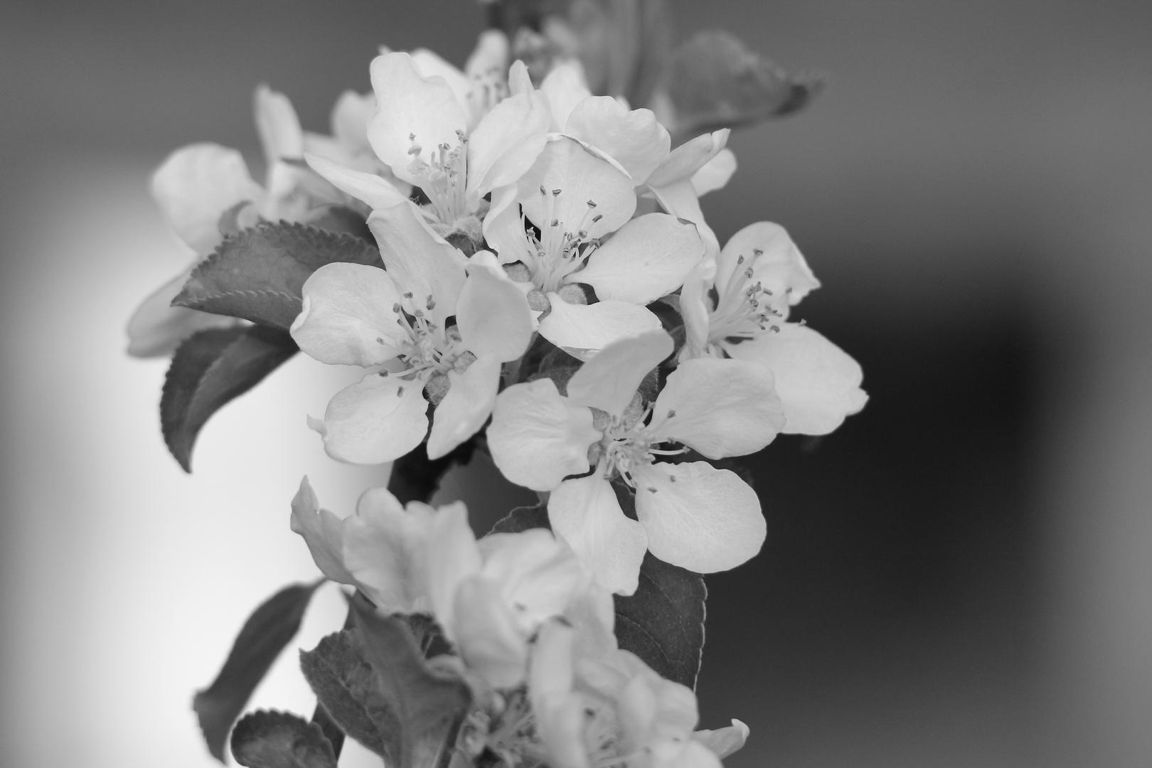 Vor dem Regen - Apfelblüte