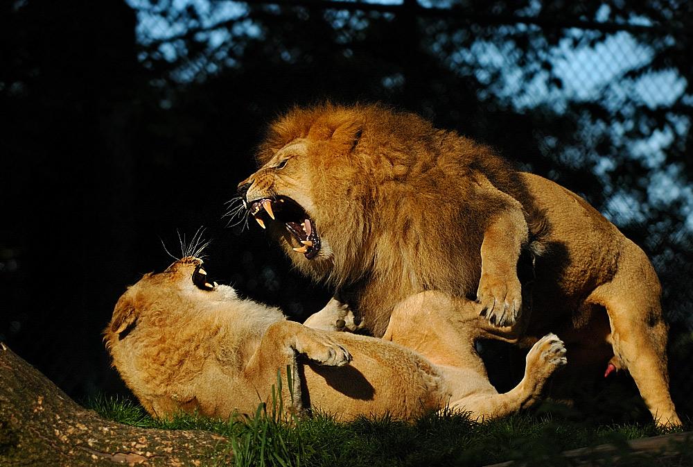 Vorbildliche Aktivitäten im EEP für Asiatische Löwen
