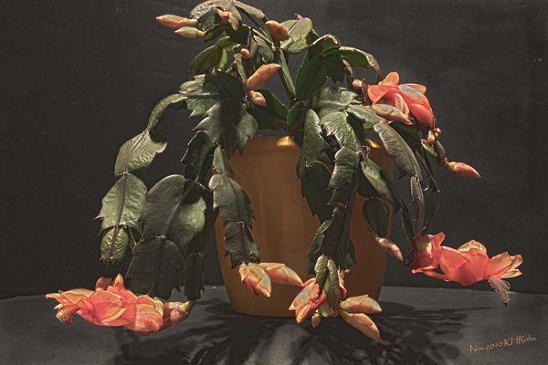 Vorbote: Schlumbergera-Hybriden (Wochenend Gruß)