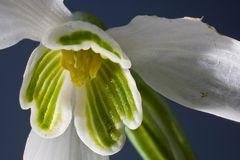 Vorbote, Schneeglöckchen ganz genau betrachtet, Details einer Blüte