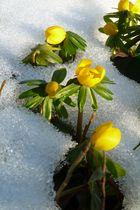 Vorboten des Frühlings - Winterlinge