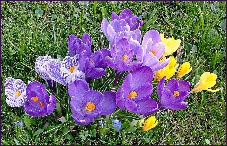 Vorfreuden auf den Frühling,                  Crocus