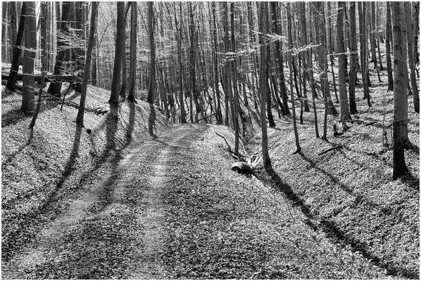 Vorfrühling im Buchenwald