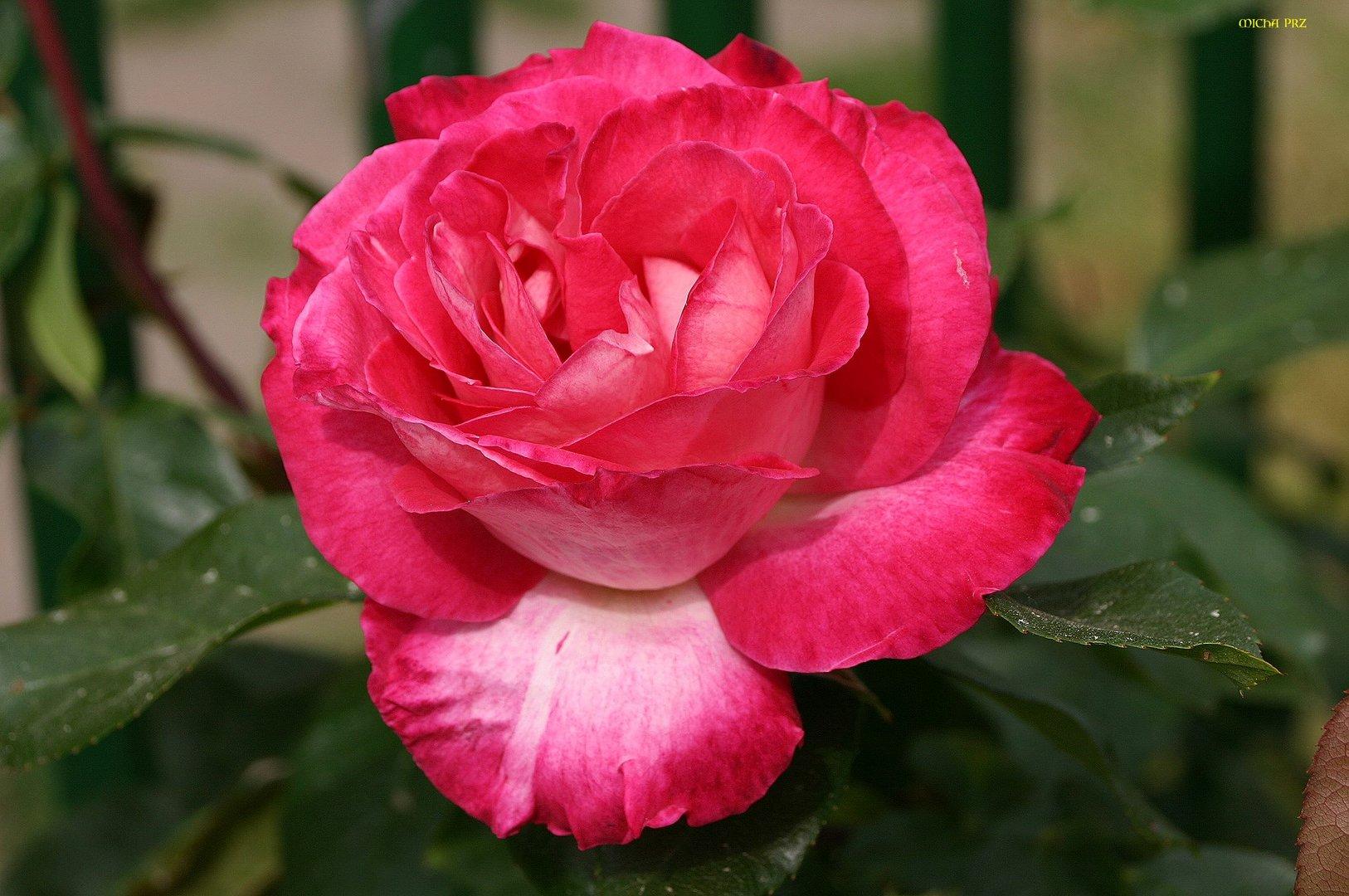 vorösterlicher Rosengruß 1