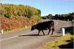 Vorsicht, freilaufende Kühe