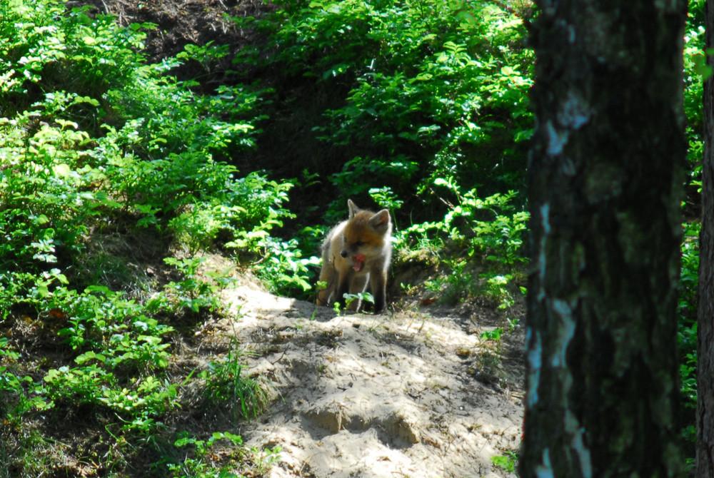 Vorsicht!!!! Ich bin ein Fuchs